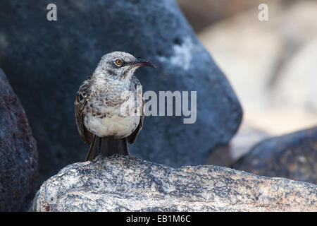 Hood Mockingbird, Mimus macdonaldi, from the Galapagos - Stock Photo