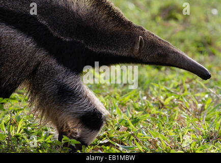 Giant Anteater (Myrmecophaga tridactyla), searching for ants & termites in the Pantanal, Mato Grosso do Sul, Brazil - Stock Photo