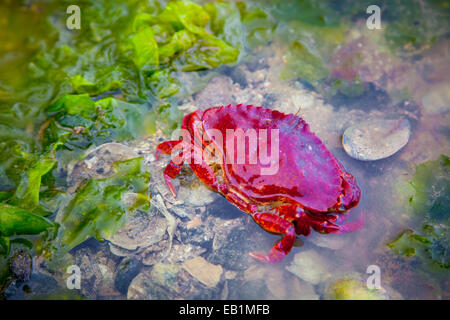 Crab and seaweed in a rock pool at low tide in Sechelt,British Columbia, Canada - Stock Photo