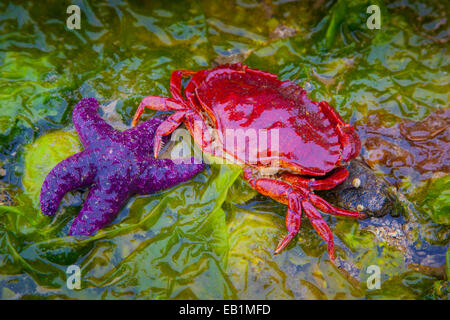 Purple starfish (Pisaster ochraceus) and red crab on seaweed at low tide in Sechelt,British Columbia, Canada - Stock Photo
