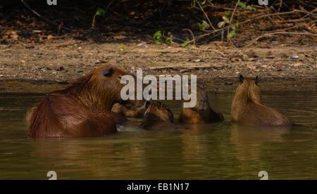 Capybara (Hydrochoerus hydrochaeris) family in water - Stock Photo
