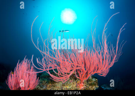 Sunlight in crystal clear blue water frames a beautiful red sea fan in southern California's Channel Islands. - Stock Photo