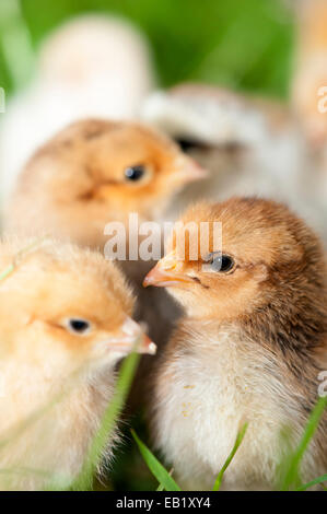 Day old poultry chicks outside on grass. - Stock Photo