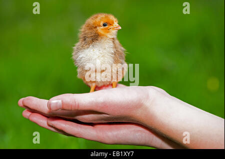 Day old poultry chick being held in a childs hand. - Stock Photo