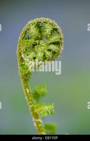 Bracken frond in process of unfurling. Pteridium aquilinum - Stock Photo