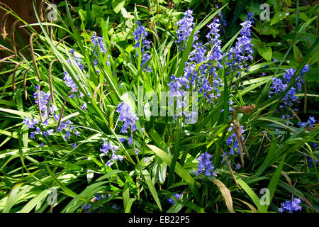Bluebells in an English garden - Stock Photo