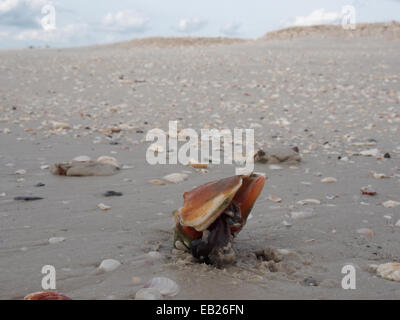 A live Fighting Conch crawls along the beach at Lovers Key State Park, Ft. Myers, Florida, USA, October 6, 2014, - Stock Photo