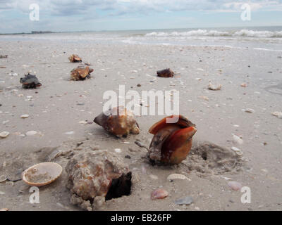 Live Fighting Conch crawl along the beach at Lovers Key State Park, Ft. Myers, Florida, USA, October 6, 2014, © - Stock Photo