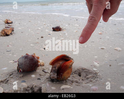 Live Fighting Conch along the beach at Lovers Key State Park, Ft. Myers, Florida, USA, October 6, 2014, © Katharine - Stock Photo