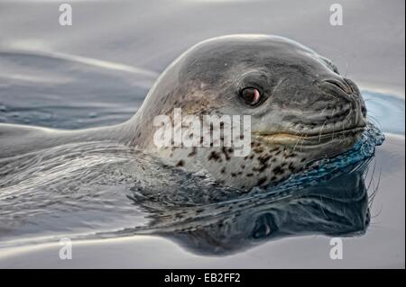 Leopard seal, Hydrurga leptonyx, in Pleneau, a labyrinth of icebergs between the towering mountains of Booth Island - Stock Photo