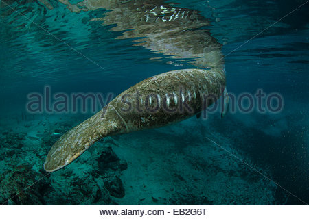 A manatee, with boat propeller scars, swims in the clear waters of the Three Sisters Springs. - Stock Photo