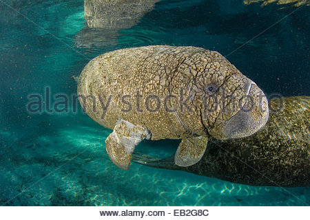 A young manatee shows the effects of a common skin fungus. - Stock Photo