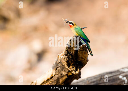 A White-fronted Bee-eater with a captured dragonfly in it's beak. - Stock Photo