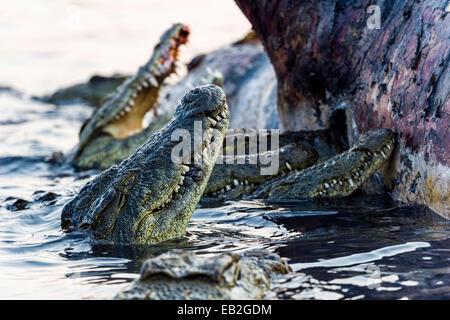 Nile Crocodiles feast on the decaying corpse of a Nile Hippopotamus. - Stock Photo