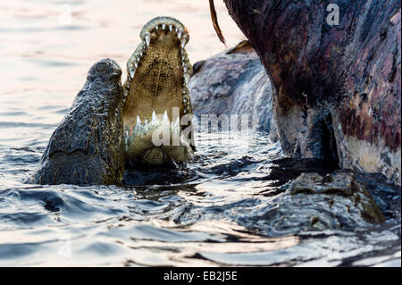 Nile Crocodiles in a feeding frenzy clash jaws during fights over a Nile Hippo carcass.