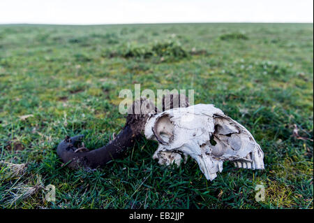 A Blue Wildebeest skull bleached white on the short grass savannah plain with Horn Moth larval cases on the horns. - Stock Photo