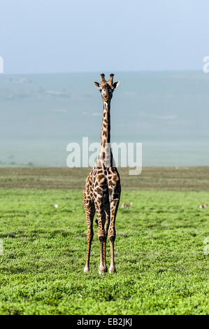 An exposed and solitary Giraffe surveying the empty short grass savannah plains. - Stock Photo