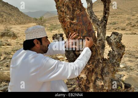 Local man harvesting the precious resin of an Frankincense Tree (Boswellia sacra), near Mughsayl, Dhofar Region, - Stock Photo