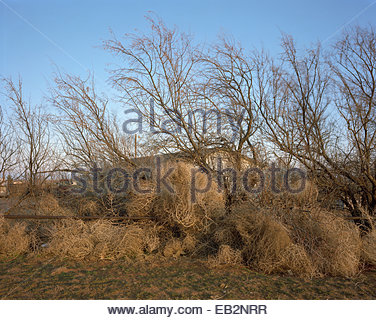 Tumbleweeds obscure a home from view. - Stock Photo