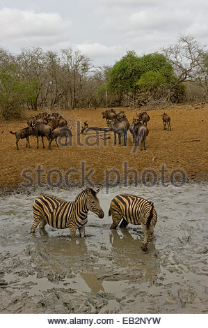 Two plains, common, or Burchell's zebras, Equus quagga, in a water hole. A herd of blue wildebeests, Connochaetes - Stock Photo