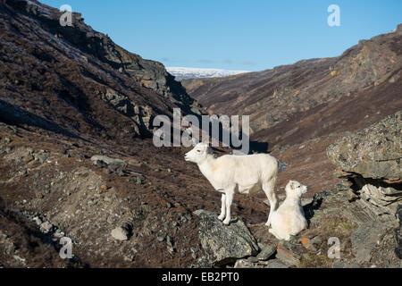 Dall Sheep (Ovis dalli), ewe with lamb, Denali National Park, Alaska, United States - Stock Photo