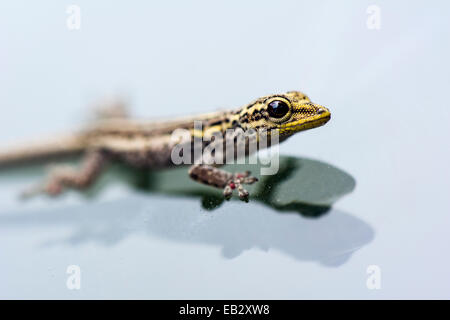 A Yellow-headed Dwarf Gecko clinging to the glass of a vehicle windshield. - Stock Photo