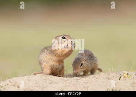 Two European Ground Squirrels or European Sousliks (Spermophilus citellus), Seewinkel, Burgenland, Austria - Stock Photo