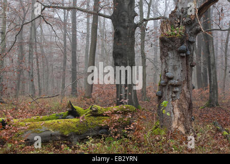 Dead beech (Fagus sylvatica) with tinder fungus (Fomes fomentarius), Hainich National Park, Thuringia, Germany - Stock Photo