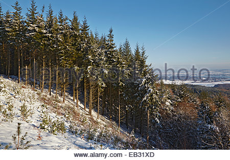 A conifer forest in deep snow, seen just before sunset, in the Haldon Hills near Exeter, Devon, Great Britain. - Stock Photo