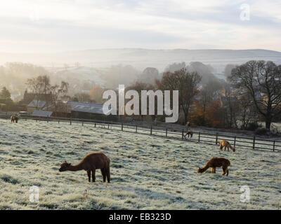 Eyam, Derbyshire Peak District, UK. 25th November, 2014. Frosty breakfast for alpacas in 'plague village' Eyam. - Stock Photo