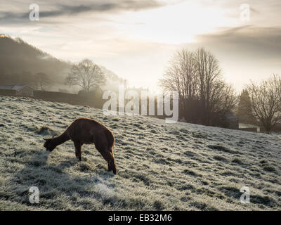 Eyam, Derbyshire Peak District, UK. 25th November, 2014. Alpaca has frosty breakfast. Credit:  Paul Griffiths/Alamy - Stock Photo