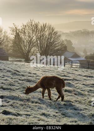 Eyam, Derbyshire Peak District, UK. 25th November, 2014. Cold breakfast for alpacas in 'plague village' Eyam. Credit: - Stock Photo