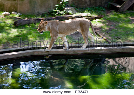 A lioness walks across a ramp at a the National Zoo in Washington DC. - Stock Photo