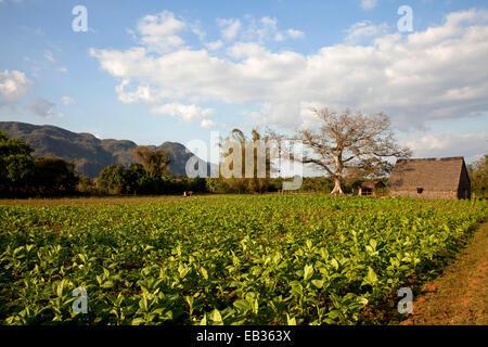 Cultivation of tobacco, Valle de Viñales, Pinar del Río Province, Cuba - Stock Photo
