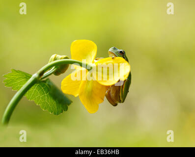 European Tree Frog (Hyla arborea) on Marsh Marigold (Caltha palustris), Kramsach, Kufstein District, North Tirol, - Stock Photo