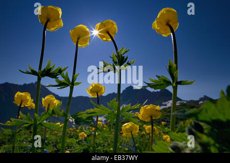 Globe Flowers (Trollius europaeus) with a panoramic view of the mountains with the sun, Lech valley, Kaisers, Reutte - Stock Photo