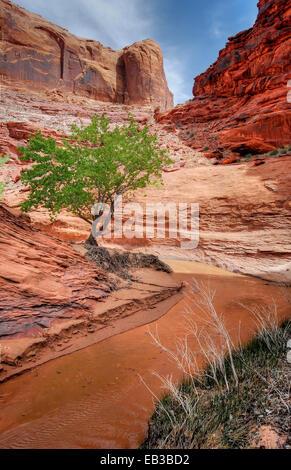 USA, Utah, Glen Canyon National Recreation Area, Lone Tree in Coyote Gulch - Stock Photo