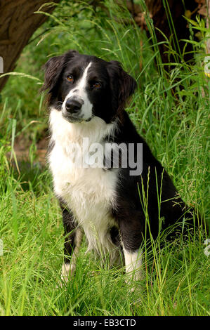 UK, England, North West England, Dee Heswall, Close-up shot of black-and-white dog sitting in grass - Stock Photo