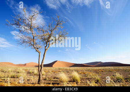 Camel Thorn (Acacia erioloba) growing in the savanna of the sossusvlei in front of Red Sossusvlei Dunes, Namibia. - Stock Photo