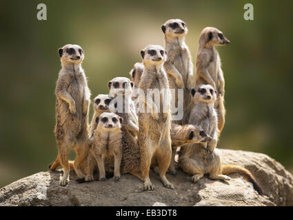 Meerkat family on lookout - Stock Photo