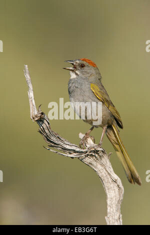 Green-tailed Towhee - Pipilo chlorurus - adult - Stock Photo