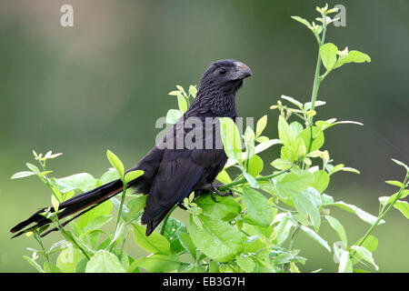 Groove-billed Ani - Crotophaga sulcirostris - Stock Photo
