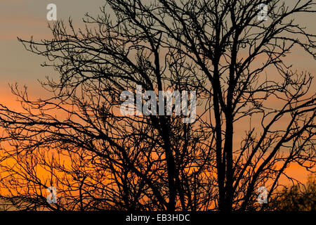 South Norwood, London, UK. 24th November 2014. Uk Weather. Silhouette of a tree on a sunny sunset in South Norwood. - Stock Photo