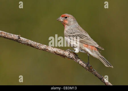 House Finch - Carpodacus mexicanus - male - Stock Photo