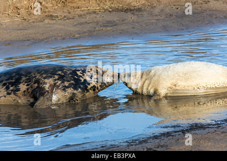 Grey seal, Halichoerus grypus, mother with pup, Donna Nook national nature reserve, Lincolnshire, England, UK - Stock Photo