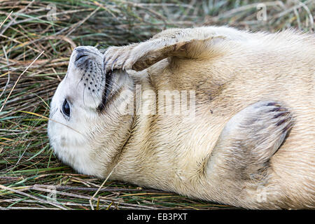 Grey seal pup, Halichoerus grypus, Donna Nook national nature reserve, Lincolnshire, England, UK - Stock Photo