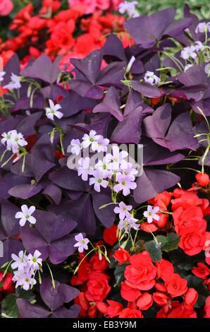 Threeleaf purple shamrock (Oxalis triangularis) and begonia (Begonia semperflorens) - Stock Photo