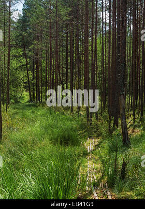 Pine forest near lake. The track laid by tree logs through a marshy site of the wood. - Stock Photo