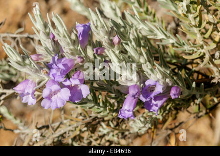 Eremophila nivea, Silky Eremophila in Kings Park, Perth, WA, Australia - Stock Photo