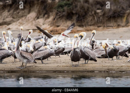 Colony of young brown pelicans on the beach with sand dunes in the background. - Stock Photo